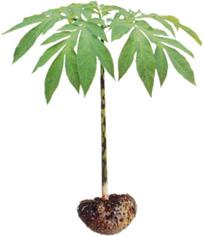 konjac plante