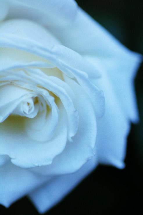 roseblanche bejaia